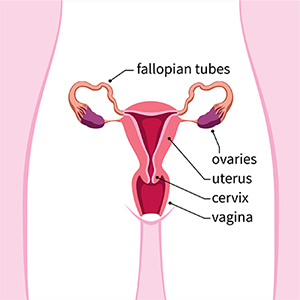 VPFW article on ovarian cancer showing the female reprroductive system including fallopian tubes, ovaries, uterus, cervix and vagina